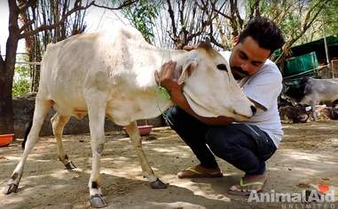 rescued street cow india