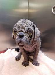 Dex the hairless stray pug at Austin Animal Center