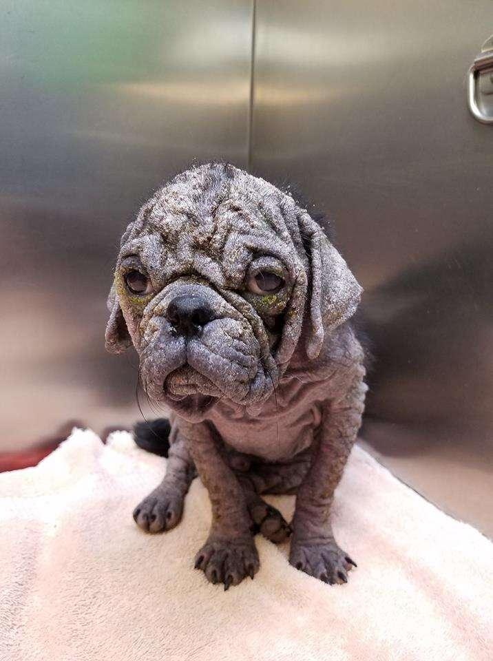 Dex the hairless stray pug at Austin Animal Center
