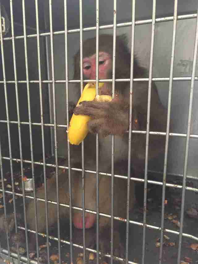 'Pet' monkey dumped at Texas shelter