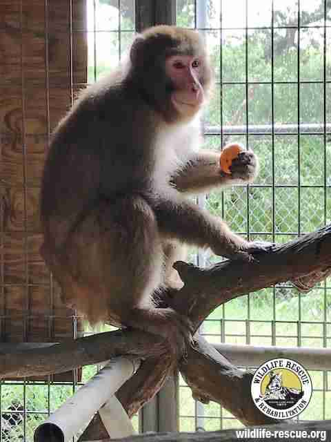 Snow macaque at rescue center in Texas