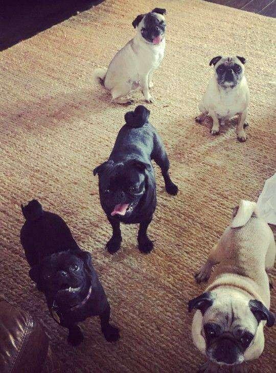 Dex and his rescued pug siblings