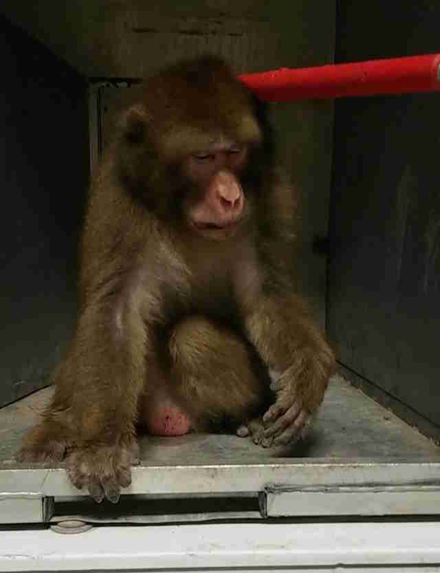 'Pet' monkey at Texas animal shelter