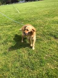 Golden retriever running around in the grass