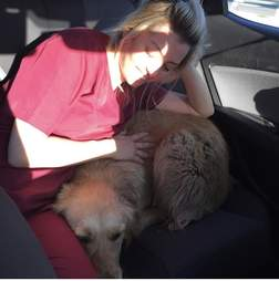 Rescued golden retriever relaxing in car