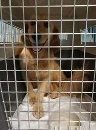 Golden retriever inside transport kennel