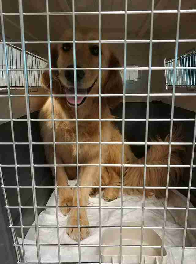 Golden retriever inside transport kennel