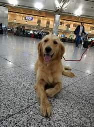 Golden retriever sitting on floor of airport