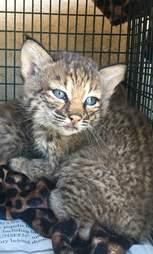 wild bobcat kittens rescue texas