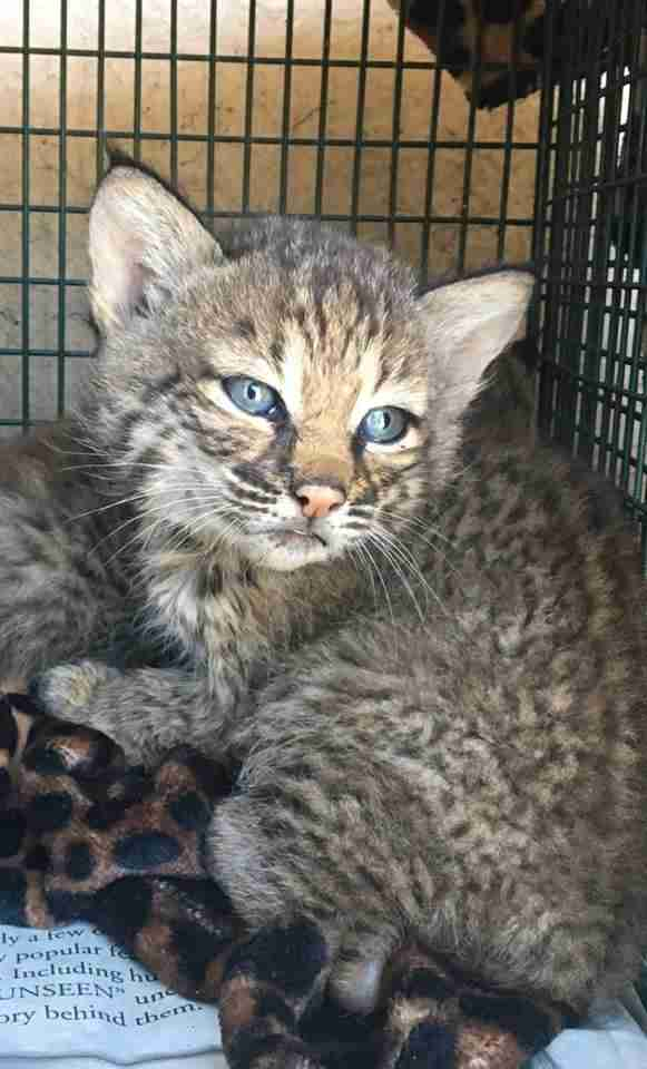 wild bobcat kittens rescue texas