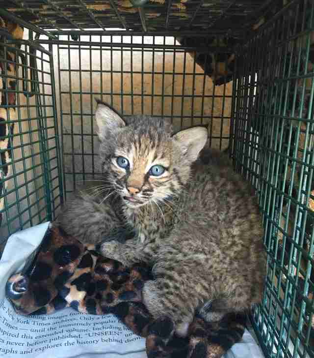 bobcat wild kitten rescue texas