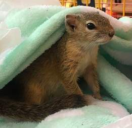 Squirrel rescued as a baby