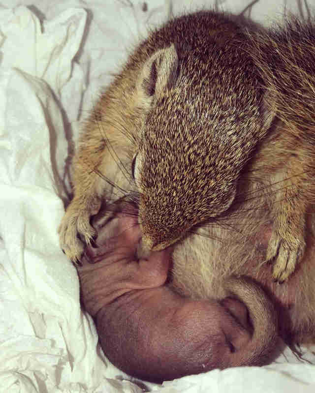 Pregnant rescue squirrel has her baby