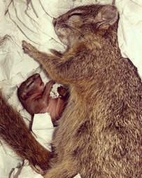 Pregnant rescue squirrel with newborn