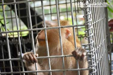 Macaque monkey inside of metal cage