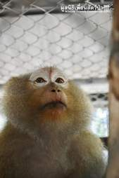 Macaque monkey in cage