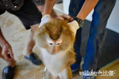 People holding macaque monkey's arms behind her back