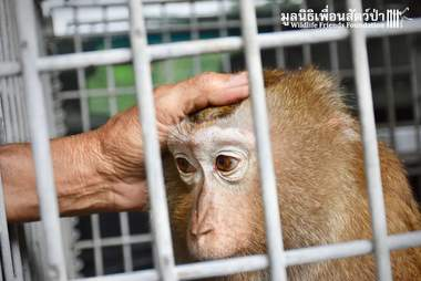 Macaque monkey inside wire cage