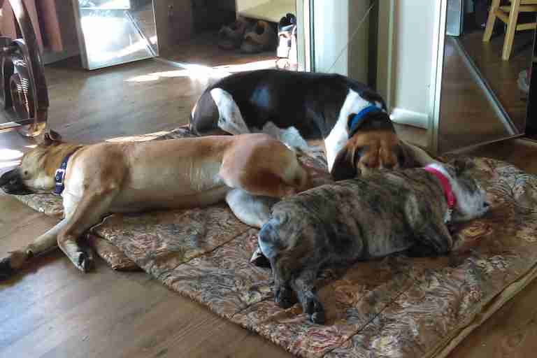 Buddy a coonhound and Gidget an English mastiff