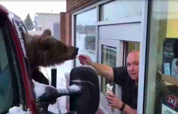 Man feeding wild bear ice cream through window