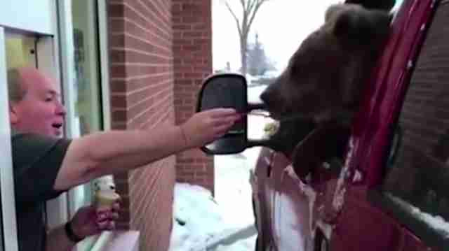 Man feeding wild bear ice cream at drive-thru