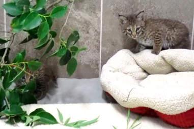 rescue bobcats stolen wild