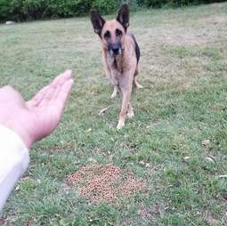 Homeless German Shepherd coaxed out of woods by rescuer in Fort Worth