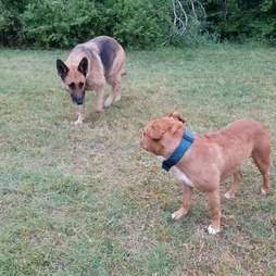 Homeless German shepherd and pit bull coaxed out of woods by rescuer in Fort Worth