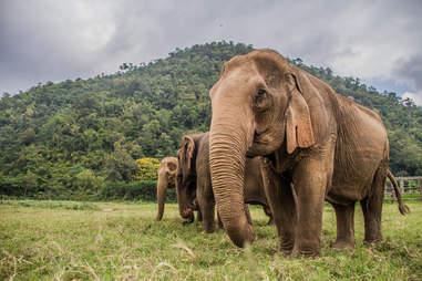 cheng mai elephants