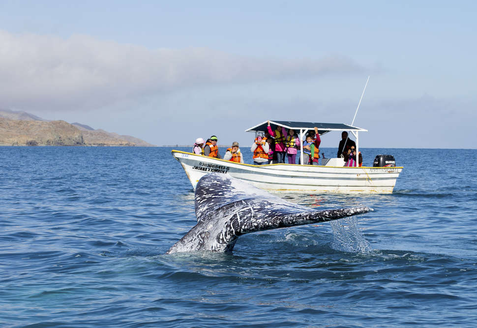 Gray Whales in Baja, Mexico