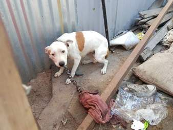 Chained dog cowering behind a shack
