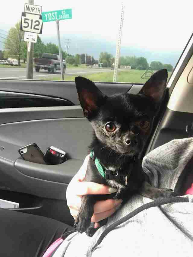 Batman the Chihuahua after his rescue