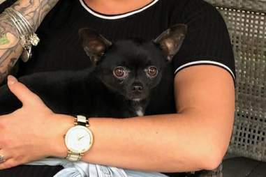 Batman the Chihuahua in his new home