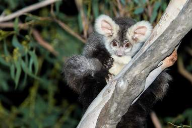 greater glider australia conservation