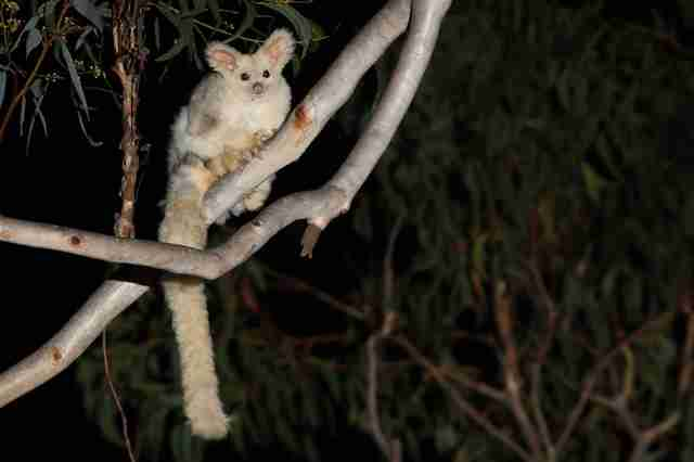 greater glider australia conservation