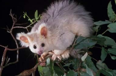 greater glider conservation australia