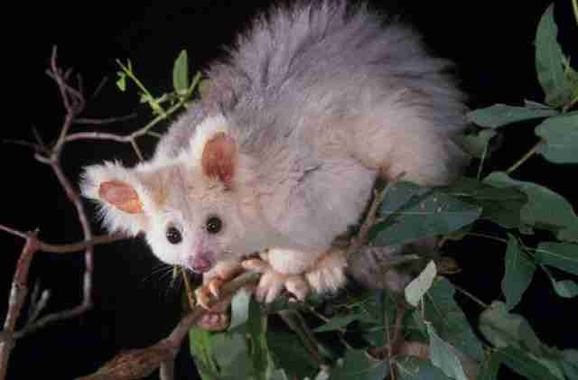 greater glider conservation australia