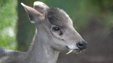 vampire deer fangs rare photos