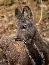 vampire fang deer real photos