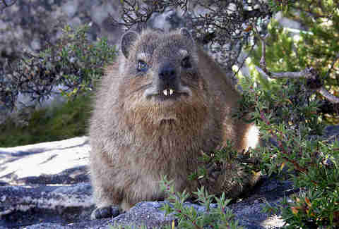 Rock hyrax or dassie shows its fangs