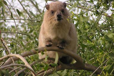 A rock hyrax in Israel