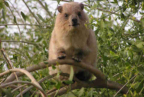 A rock hyrax in Israel