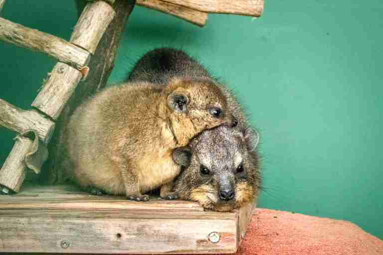 Rescued rock hyraxes snuggle together