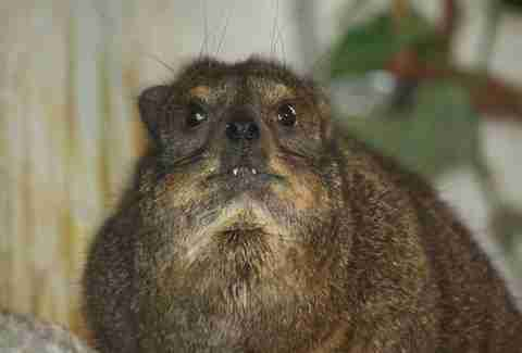 A Rock hyrax shows its tusk-like teeth