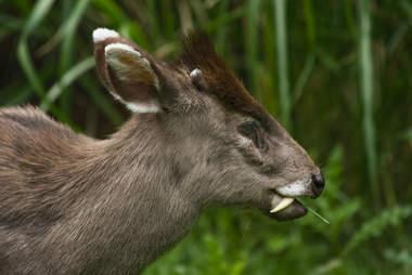 rare vampire deer fang pictures