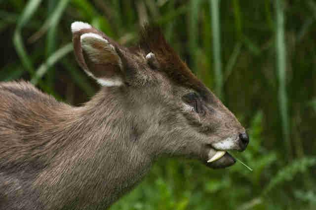「吸血鬼鹿」出現!不長鹿角長獠牙 長長尖牙一口咬下對手瞬間投降