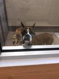Boxer sitting in shelter kennel