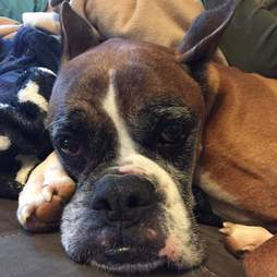 Grumpy-looking boxer lying on couch