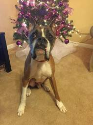 Boxer sitting in front of Christmas tree