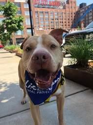 pit bull adoption georgia